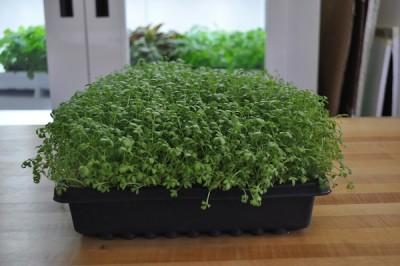 Peppergrass-day-16-400x266