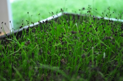Chives-ready-to-harvest-day-13-5-400x265