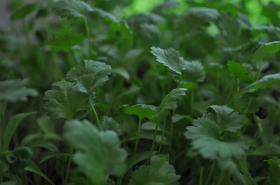 Cilantro-ready-to-harvest-day-21-5-400x265