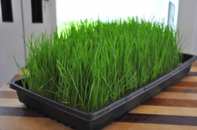 Fabric-Wheat-Grass-ready-to-harvest-day-7-2-400x265