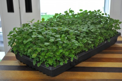 Lemon-Balm-day-54-2-400x265