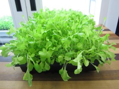 Lettuce-3-400x300